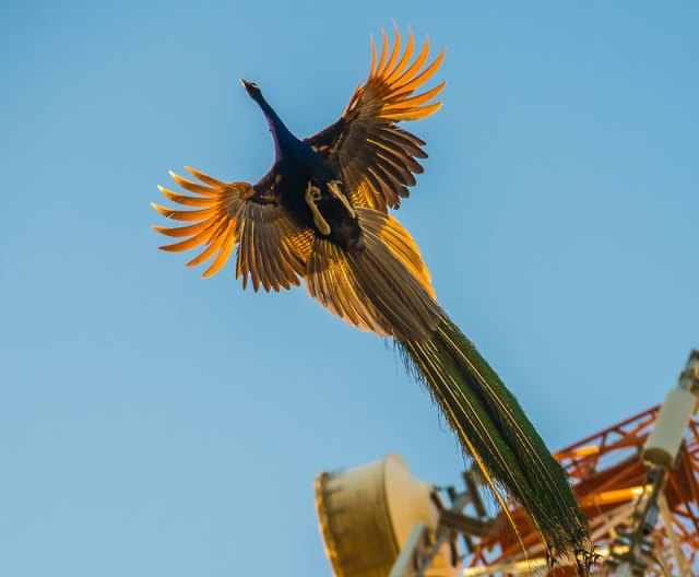pavos-reales-volando (9)