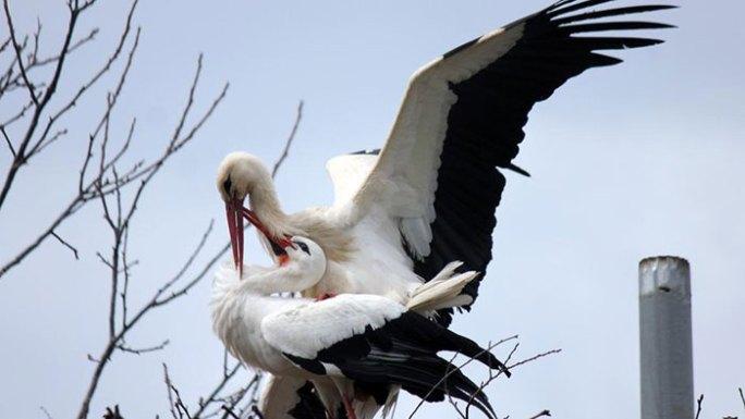 ciguena-vuela-miles-de-kilometros-por-amor-klepetan-malena-croacia (1)
