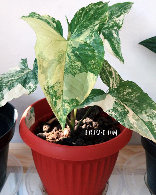 tanaman hias untuk rumah minimalis