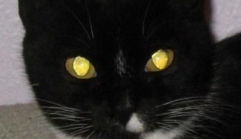 Eyeshine-gatto