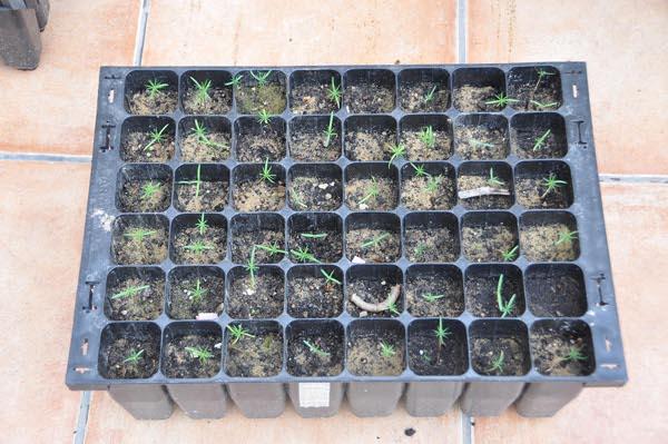 Resultado de imagen de Juniperus Oxycedrus Germinacion
