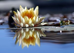 Tranquil picutre of floating lotus flower and it's reflection