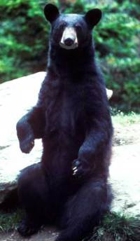 Bear Cub alone