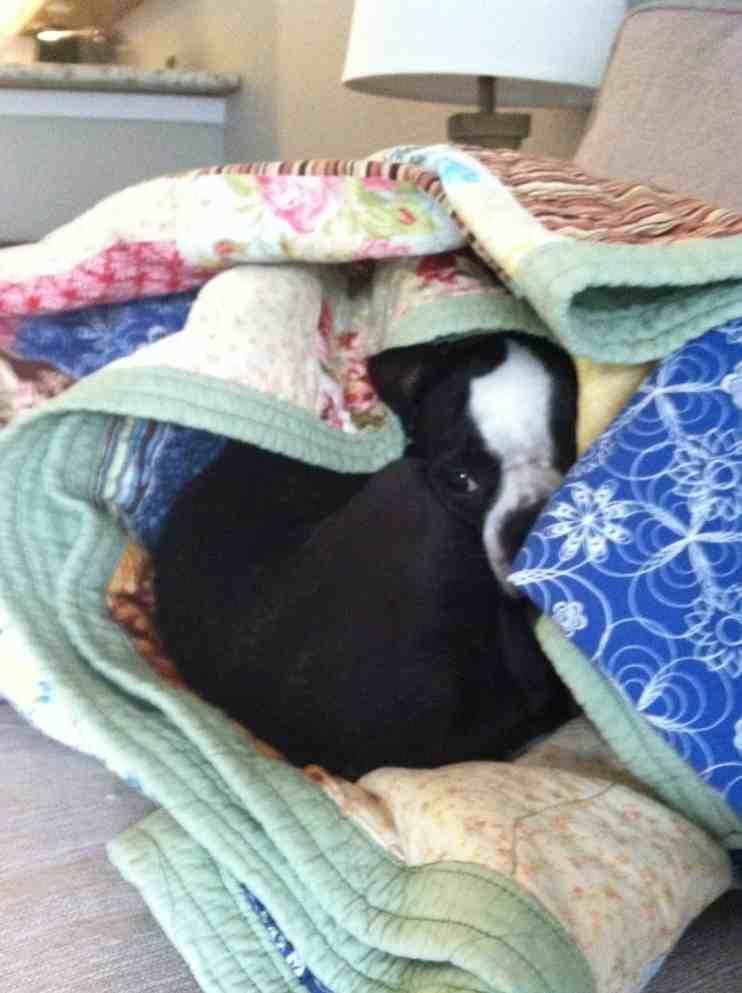 How Much Sleep Do Boston Terriers Need? Boston Terrier Society