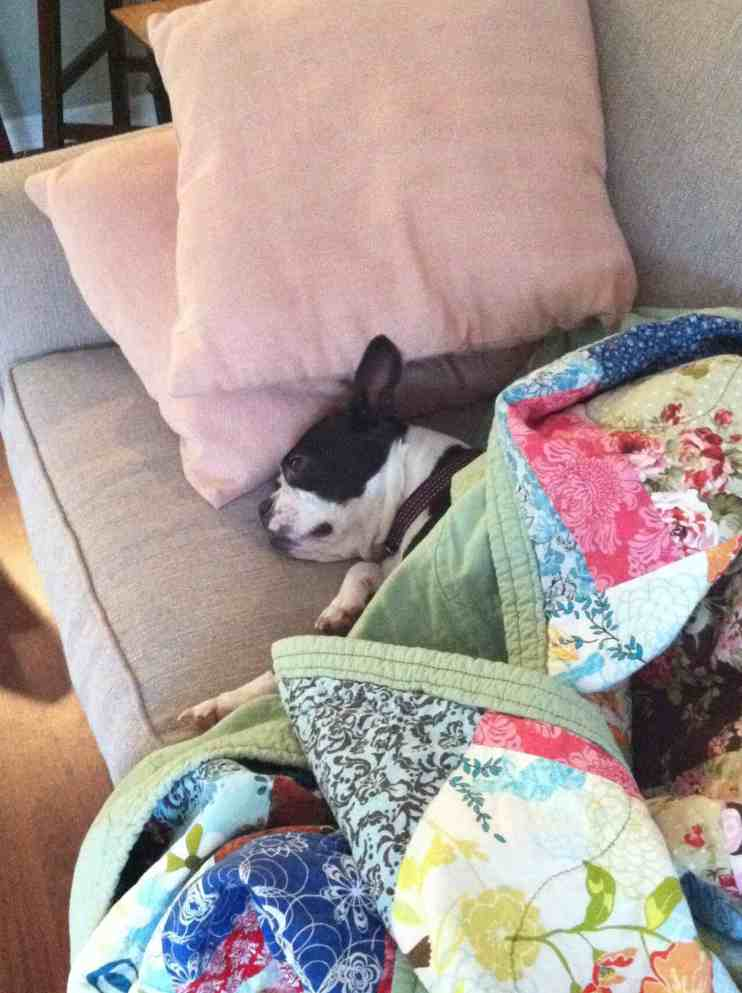 How to Stop Your Boston Terrier from Farting. Boston Terrier Flatulence. Boston Terrier Society.