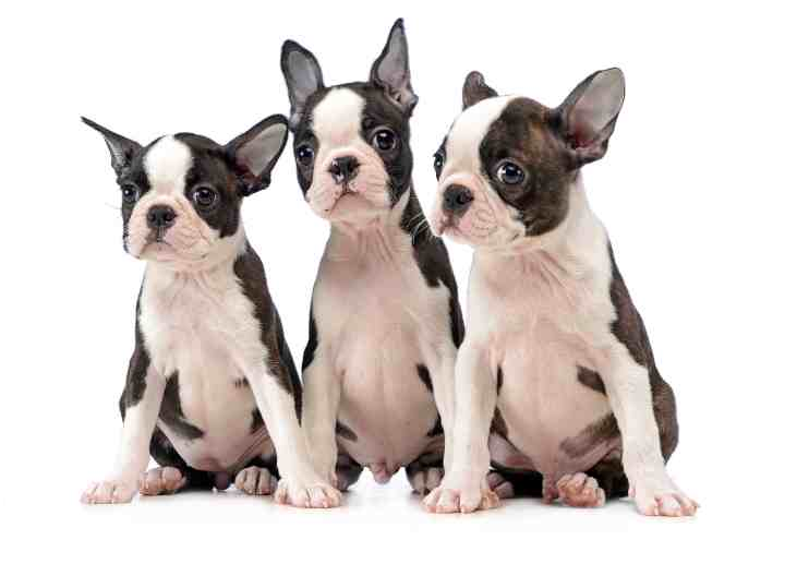 Boston Terrier Rescues. Boston Terrier Society.