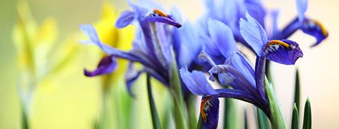 """Résultat de recherche d'images pour """"iris"""""""