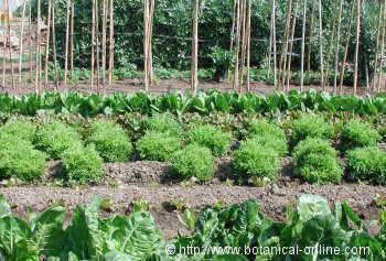 Como cultivar verduras y hortalizas en el jard n o en la for Cultivar vegetales en casa