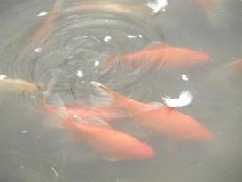 Botanical Park-Gardens of Crete- Goldfish on our pond
