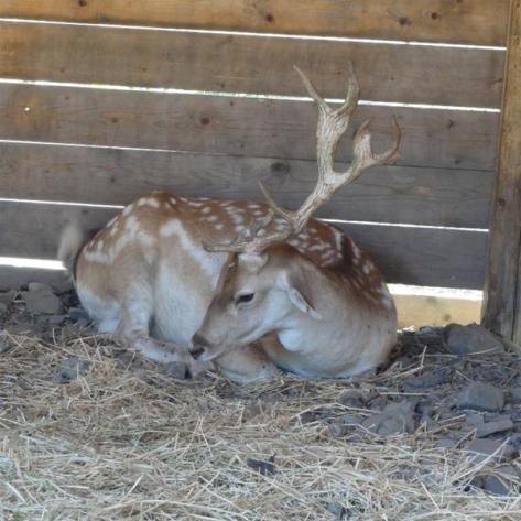 Βοτανικό Πάρκο- Κήποι Κρήτης: Ζώα στο Πάρκο- Ελάφι