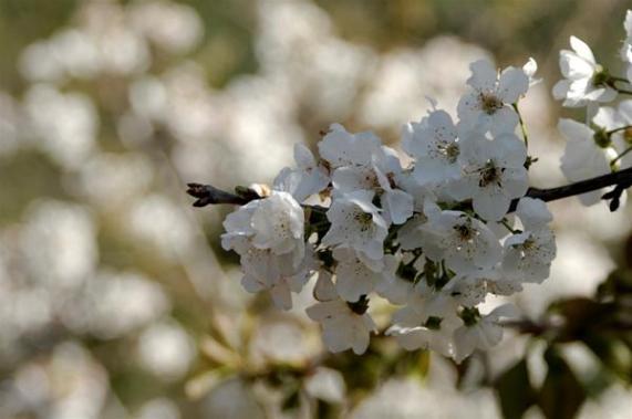 Βοτανικό Πάρκο- Κήποι Κρήτης: Άνθη του Πάρκου μας -Άμυγδαλιά