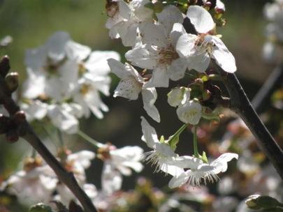 Botanical Park-Gardens of Crete- Almond Tree Blossoms