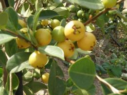Βοτανικό Πάρκο- Κήποι Κρήτης: Τροπικά Φρούτα