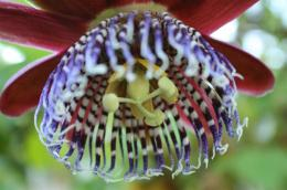 Botanical Park-Gardens of Crete- Passiflora