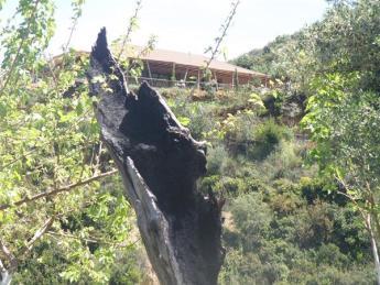 Βοτανικό Πάρκο- Κήποι Κρήτης: Κορμός Δέντρου από την καταστροφική φωτιά του 2004
