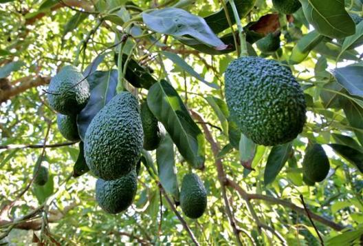 Βοτανικό Πάρκο- Κήποι Κρήτης: Αβοκάντο Κρήτης (Hass)