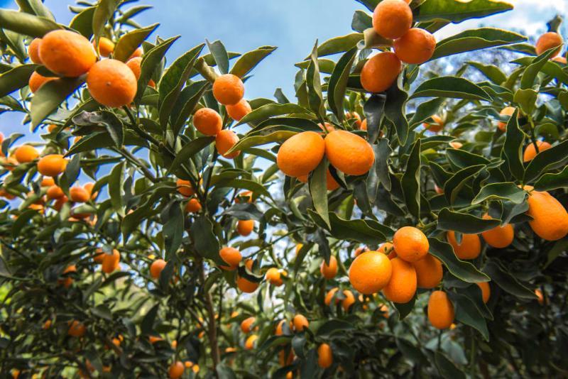 Botanical Park- Gardens of Crete: Kumquat Tree