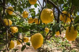 Botanical Park- Gardens of Crete: Lemon Tree