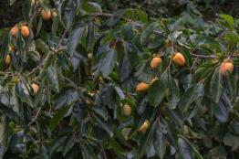 Τροπικά Δέντρα- Βοτανικό Πάρκο και Κήποι Κρήτης