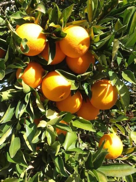 Botanical Park- Gardens of Crete: Our orange trees