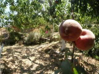 Botanical Park- Gardens of Crete: Mediterranean Fruit Trees: Peach
