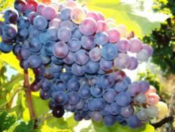 Botanical Park and Gardens of Crete: Vines