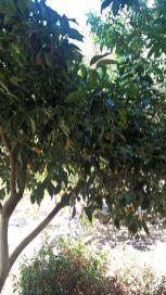 Botanical Park and Gardens Of Crete- Citrus Trees Collection: Kumquat Tree