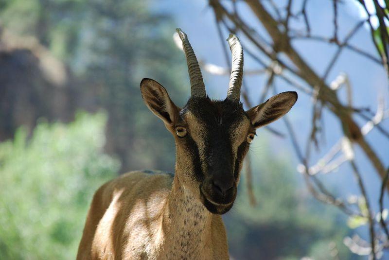 Kri Kri Cretan Goat on the Samaria Gorge- Botanical Park & Gardens of Crete