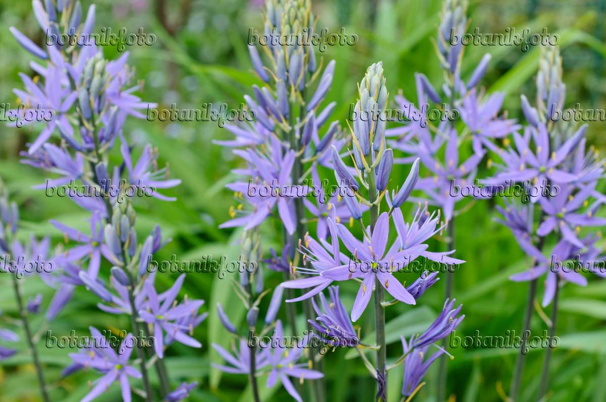 https www botanikfoto com en details image photo camassia leichtlinii caerulea adderwort bistorta 508079 php