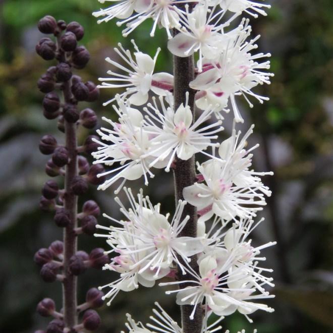 Höstsilverax (Actaea simplex 'Brunette'). Foto: Dan Abelin.