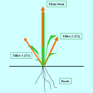 Regulation of tillering in sorghum: environmental effects