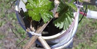 Spring temperatures affect season-long growth in grapevine - Vitis vinifera