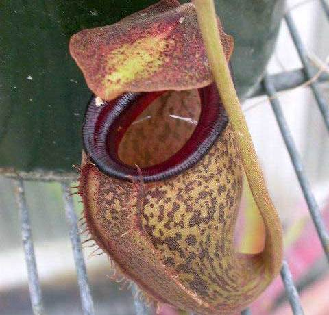 Nepenthes talangensis - Pitcher plant