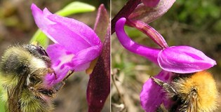 Orchid reproductive isolation and pollination success