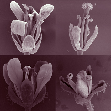 Number and position of floral organs in Arabidopsis