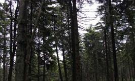 Lichen Lecanora conizaeoides in German forest