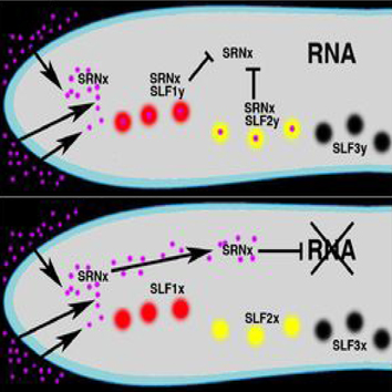 S-RNase-based self-incompatibility (Review)