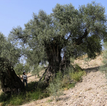 Genetic diversity of ancient olive trees