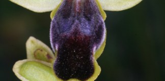 Progenitor–derivative speciation in orchids