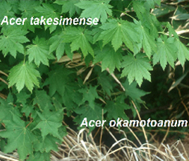 Anagenetic speciation in Acer okamotoanum