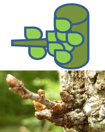 Ontogeny constrains sprouting in Quercus