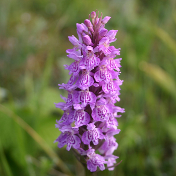 Reproductive isolation between hybridizing orchids