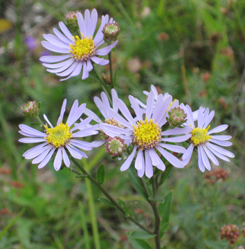 Cytotype distribution in a diploid/hexaploid contact zone in Aster
