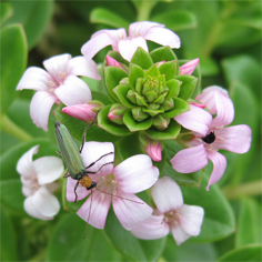 Cytogeography and allozyme variation of Lysimachia in Taiwan