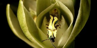Pollination biology of a Chloraeinae orchid