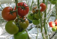 Carbon status and stem diameter changes in tomato