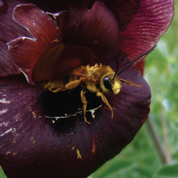 Bee pollination in the endangered Iris atropurpurea