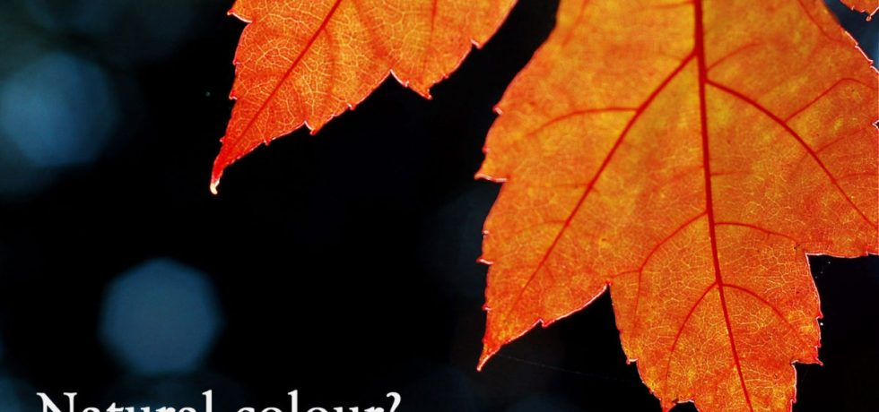 An orange / red Maple leaf