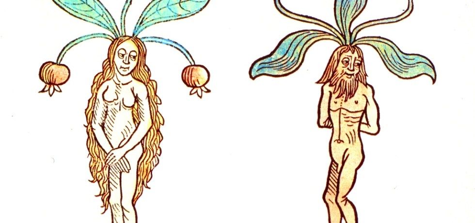 A female and male mandrake