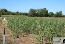 Miscanthus growing